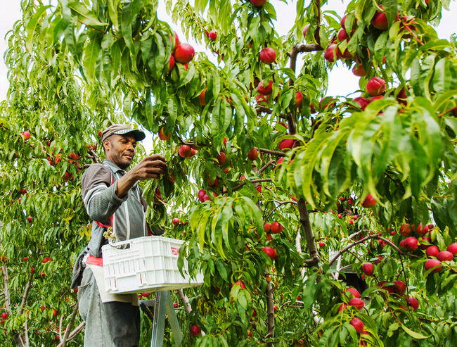 Seasonal worker picking peaches at Tregunno Farms