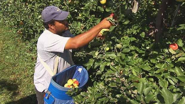 A worker on Dean Thomson's farm picks apples during the 2015 harvest. (CBC)
